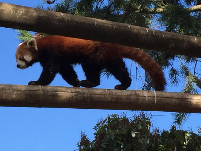 red panda on a log