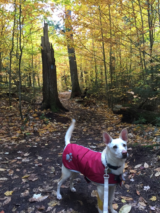 a white dog wearing a red coat stands among trees whose leaves have turned gold