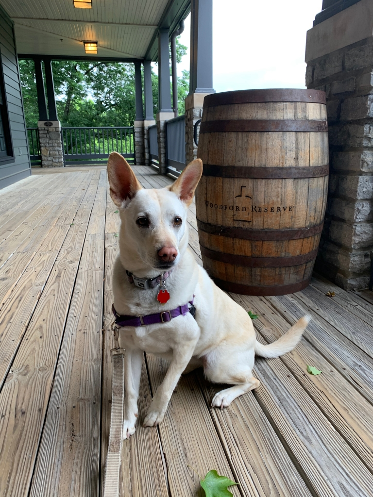 """A white dog with pointy ears sits in front a brown wood barrel on a wood porch. The name """"Woodford Reserve"""" appears on the side of the barrel."""